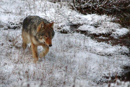 Kootenay Wolf by JamesA1