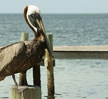 Pelican on Post by Scott Dovey