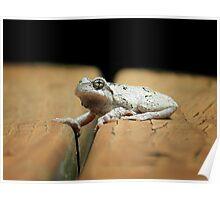 Gray Tree Frog Poster