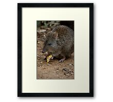 A Potoroo Finds A Treat Framed Print