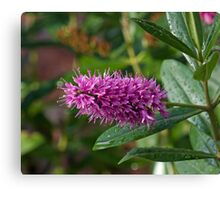 Pink bottle brush flower thingy Canvas Print