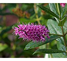 Pink bottle brush flower thingy Photographic Print