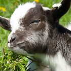 Baby Bagot Goat by lmaiphotography
