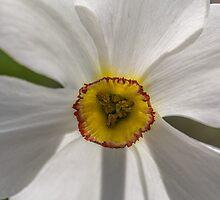 Macro white daffodil by Pixie Copley LRPS