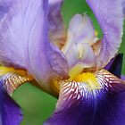 Iris Bloom by pictureit