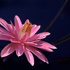 Pink Waterlily - August 2013 by cclaude