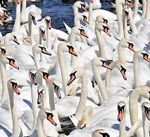 Abbotsbury swannery, Dorset, UK by buttonpresser