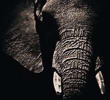African Elephant by jjbentley