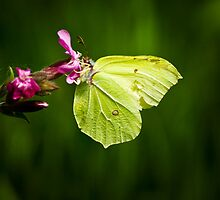 Male Brimstone by Country  Pursuits