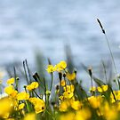 Buttercups 2 by C.A. Rowe