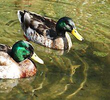 Ducks by logiccsu