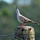 Crested Pigeon In Our Back Paddock. Cedar Creek, Queensland, Australia by Ralph de Zilva