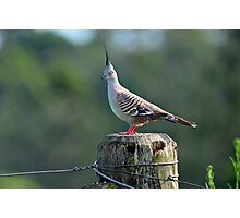 Crested Pigeon In Our Back Paddock. Cedar Creek, Queensland, Australia Photographic Print