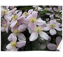 A Touch of Pink - Clematis Blossoms Poster
