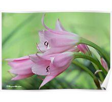UNTOUCHED BEAUTY - the Indigenous Belladonna Lily - DIE BELLADONNA LELIE  Poster