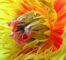 Peony Macro...As Is...Taken At Peony Gardens Salem, Oregon by trueblvr