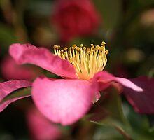 Reflect on Camellia by Joy Watson
