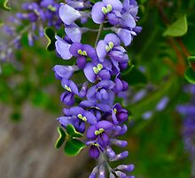 Australian Native Lilac by Ian Berry
