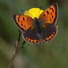 Small Copper  by Gill Langridge