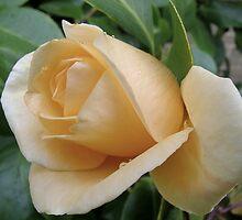 Rosa 'Lady Hillingdon' by stevenwells