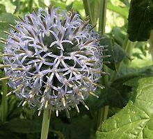 Echinops ritro 'Veitch's Blue' by stevenwells