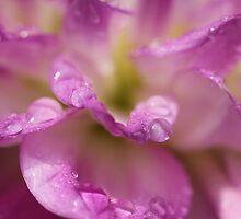 Soft Dahlia  by Lynn Gedeon