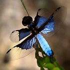 Blue Winged Dragonfly  - (Diplacodes ???)   -  Isalo  Madagascar by john  Lenagan
