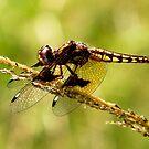 Yellow Spotted Dragonfly  - (Diplacodes ???)   - Anja Reserve Madagascar by john  Lenagan