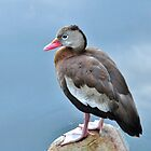 Black Bellied Whistling Duck...Rare In SC by Kathy Baccari