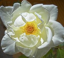 J.F.Kennedy Hybrid Tea Rose by David DeWitt