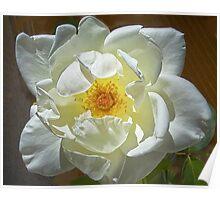 J.F.Kennedy Hybrid Tea Rose Poster