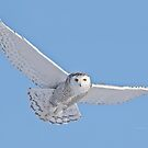 Snowy owls by Heather King