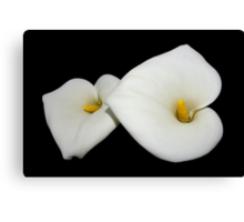 beautiful calla lilies on black Canvas Print