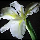 SIMPLICITY - THE WATER IRIS IN WHITE - WATER IRIS by Magaret Meintjes