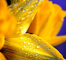 Water droplets on Irish Daffodils by Jukeboxpunk