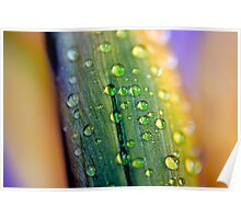 Water droplets on Irish Daffodils Poster
