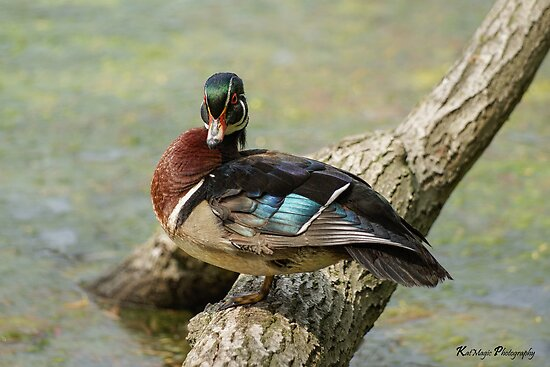 Colorful Wood Duck by KatMagic Photography