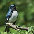 Black-throated Blue Warbler by Wayne Wood