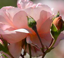 Peach Peony by pencreations