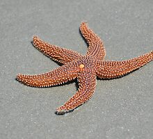 Common Sea Star (Starfish) by Kathy Baccari