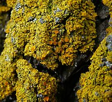 Lichens by Chad Burrall