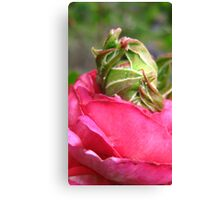 Rose Within A Rose Canvas Print