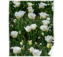 A field of frilly tulips in colour Poster
