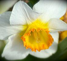 Daffodil Beauty by Alison Hill