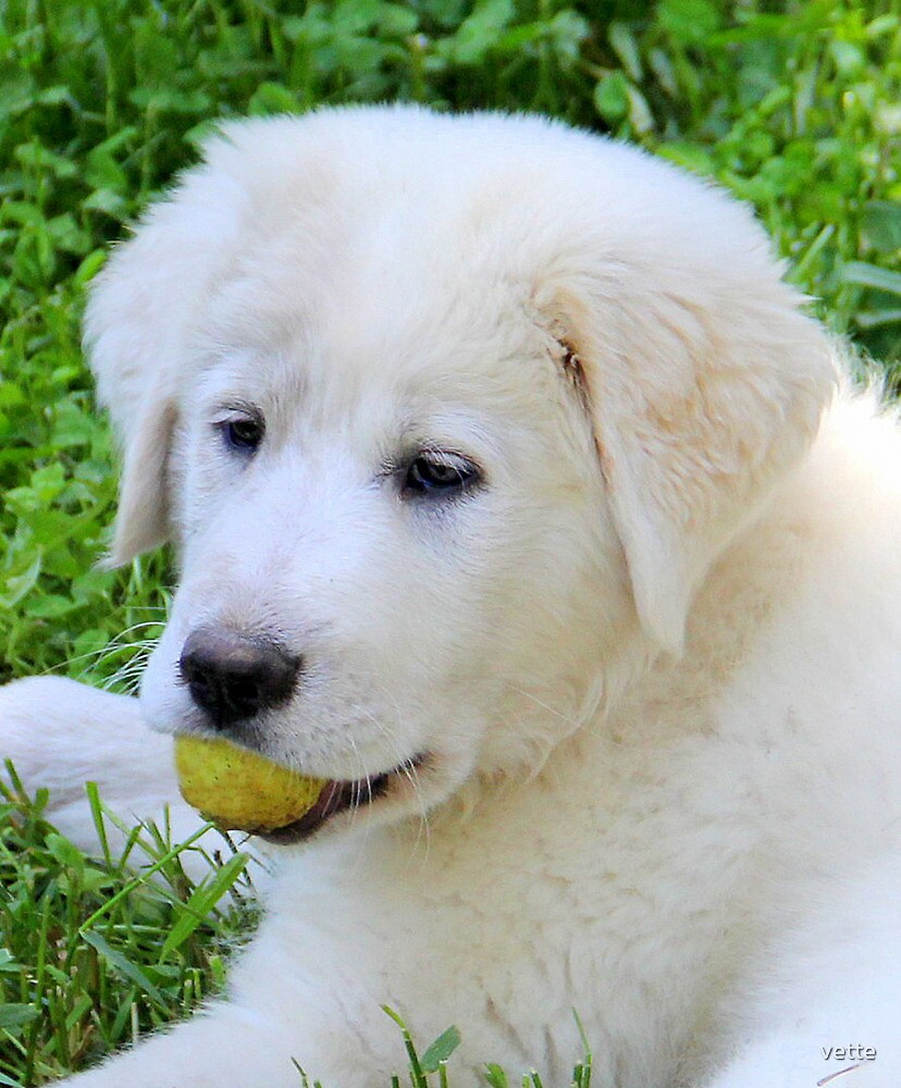 Zara my Pyrenees Puppy by vette
