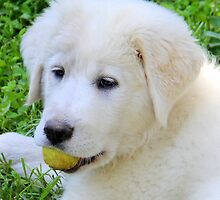 Zara my Pyrenees Puppy by vette