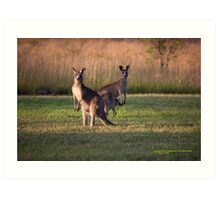 Kangaroos with Joey Late Afternoon at Vacy, NSW Australia Art Print
