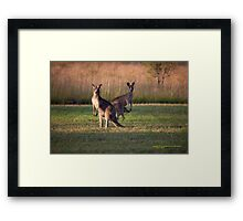 Kangaroos with Joey Late Afternoon at Vacy, NSW Australia Framed Print