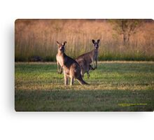 Kangaroos with Joey Late Afternoon at Vacy, NSW Australia Canvas Print