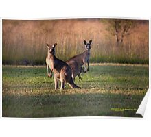 Kangaroos with Joey Late Afternoon at Vacy, NSW Australia Poster